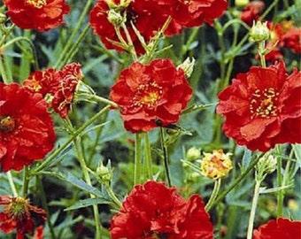 Mrs. Bradshaw Scarlet Red Geum Flower Seeds / Perennial  50+