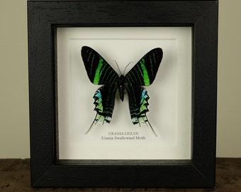 Urania Swallowtail Moth in Box Frame (Urania leilus) Real Mounted Moth