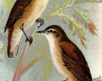 "1896 Rare ANTIQUE BIRD PRINT ""Reed Warbler and Sedge Warbler"" Chromolithograph"