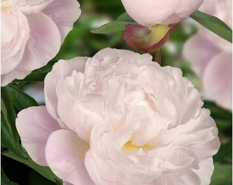 Fragrant Double Peony Gardenia 3-5 eyes ~ SHIPPING OCTOBER