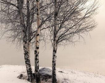 Postcard, photograph, fine art photograph, mood, beautiful, winter, season, trees, snow, Finland, Scandinavia, birches