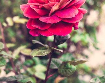 Rose, Flower Photography, Garden, Color Print