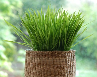 Wheatgrass Seeds 100gm (3000+ seeds) The Cleansing & strengthening Healthgrass