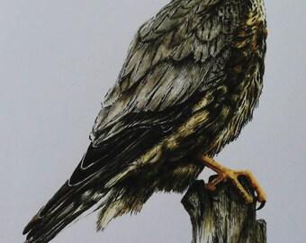 Merlin   ( Ink Drawing )