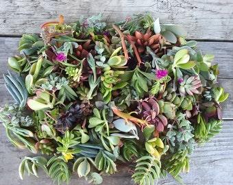 150 Succulent Cuttings
