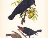 1890 Audubon Bird Print - Crow Cow Bird - Vintage Antique Book Plate for Natural Science or History Lover Great for Framing 100 Years Old