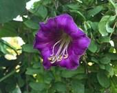 Cup and Saucer or Cathedral Bells Vine Seeds (Cobaea scandens)