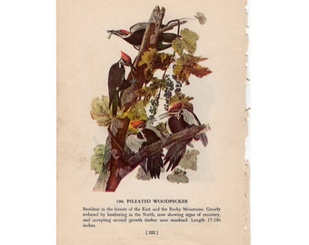 c. 1950 PILEATED WOODPECKER BIRD print - bird lithograph -  bird lithograph - original vintage bird print
