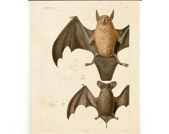Bat Pull Down Chart Vintage Reproduction. Mexican Freetail Bat Tadarida brasiliensis Molossus rugosus Zoology austin biology CP276cv