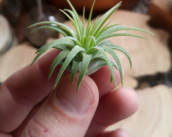 Air Plant - Tillandsia Ionantha - 1-2 Inch Size - Excellent gift or Wedding Favor