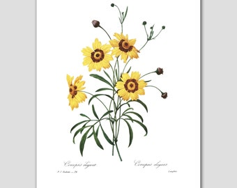 "Farmhouse Chic, ""Yellow Coreopsis"" (Botanical Decor, Flower Wall Art) -- Pierre Redoute"