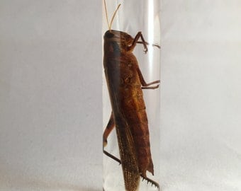Grasshopper Wet Specimen