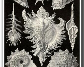Ernst Haeckel Seashell Print, Seashells Art, Coastal Decor, Beach Art, Haeckel Scientific Illustration of Murex Shells in Black And White