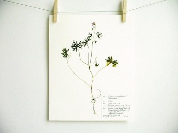 copie de l 39 original sp cimen d 39 herbier g ranium. Black Bedroom Furniture Sets. Home Design Ideas