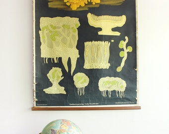 Original Vintage German Botanical School Wall Chart
