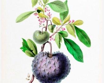 antique french botanical print cheremolia tropical fruit illustration digital download