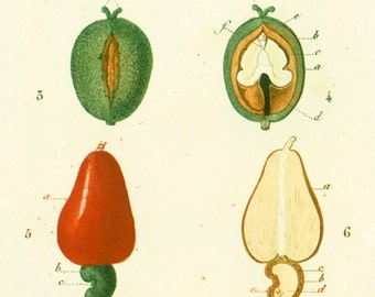 Turpin 1819 Fruits botanical print original antique engraving  handcolored natural history framing