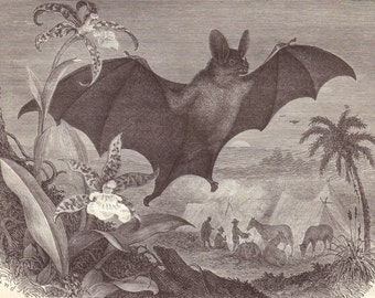 Vampire bat, original 1922 zoology print - Hematophage - 94 years old German antique lithograph illustration (B743)