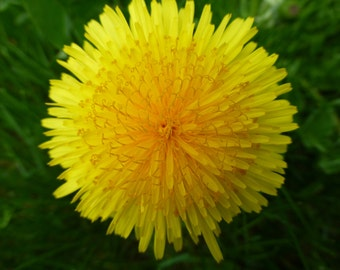 Yellow dandelion flower photo print MOTHER'S DAY GIFT