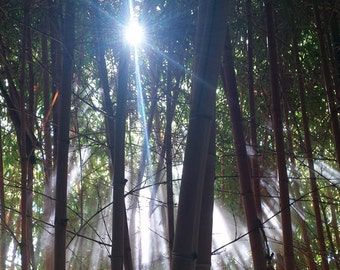 Lustre Fine Art Print of original photograph - Bamboo Mist