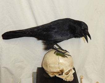 Taxidermy crow ONLY no skull or books 'specail offer' #4