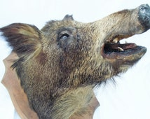 HUGE French Mounted Boars Head Vintage French Taxidermy Wild Boar Mounted on a Large Oak Shield Huge Antique french wild boar taxidermy