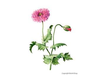 opium poppy (papaver somniferum L)