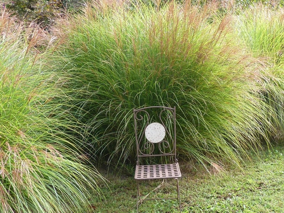 Ornamental grass chinese silver grass also called by woodenwe for Hearty ornamental grasses