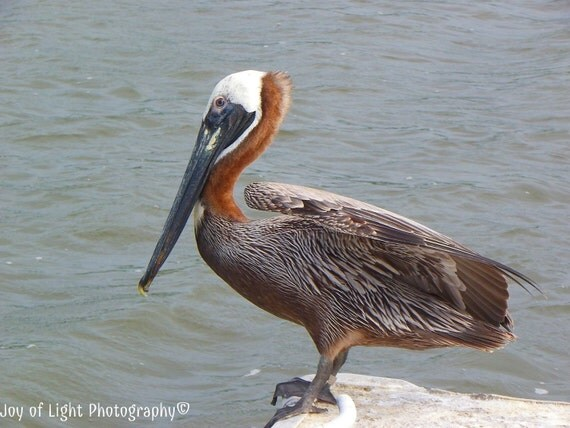 Pelican photograph, brown pelican, flight photograph, nature, wildlife photograph available on Glass