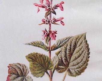 1878 HEDGE STACHYS Original Antique Botanical Lithograph - Botany - Flower - Wall Decor  - Home Decor - Matted & Ready to Frame