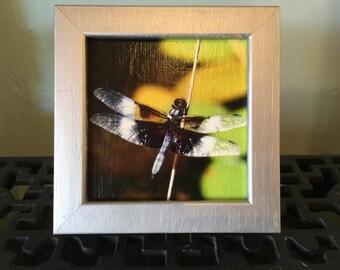 Widow Skimmer Dragonfly, Albino Ruby-throated Hummingbird, Barn Owl