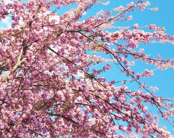 """Cherry Blossoms and Blue Sky in Spring, 5"""" x 5"""", Fine Art Photography, Wall Art Decor"""