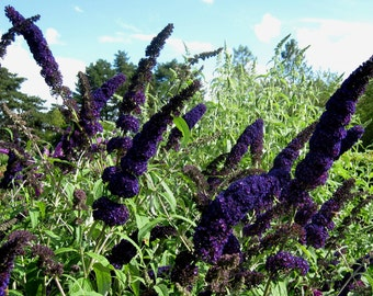 1 - Black Knight - Butterfly Bush