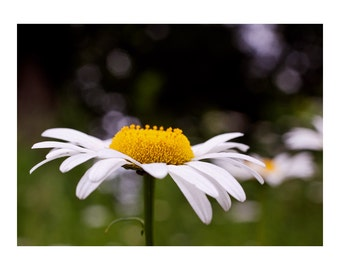 Daisies Photographic Print 4x6 8x12 16x24 Fine Art Flower Photography Wall Art Home Decor Wildflower Photo