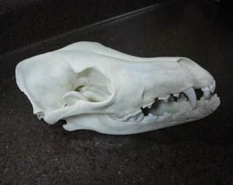 Coyote Skull, taxidermy, Real Bone, Male