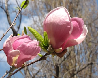 Magnolias in bloom (2/5)