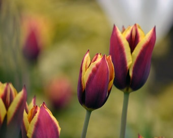 Tulips/Flower Photography