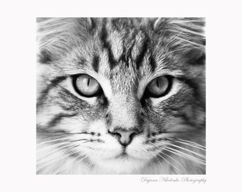 Black and White Cat Maine coon Animal Nature Eyes Photography