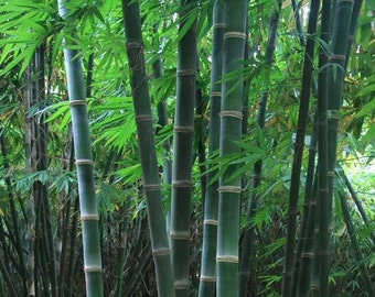 Dendrocalamus Hamiltonii 10 Seeds, Tama or Tufted Bamboo, Clumping Garden Fence