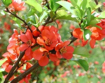 Chaenomeles Japonica Bonsai Bush 10 Seeds, Cold Hardy & Fragrant, Red Japanese Flowering Quince Shrub