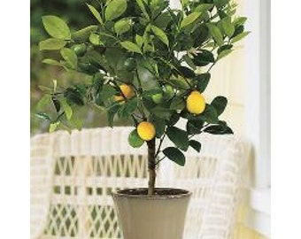 Meyer Lemon Tree, 4-5 Year Old (3.5-4.5 Ft), Potted, 3 Year Warranty