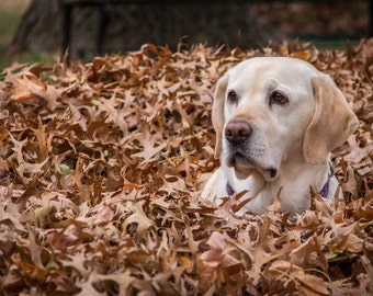 Yellow Labrador Retriever in Fall Leaves, Fine Art Dog Photography, Home Decor Wall Art, Canine Photography
