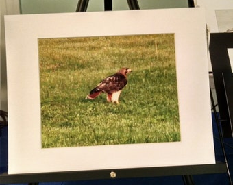 Redtail Hawk matted to 11x14