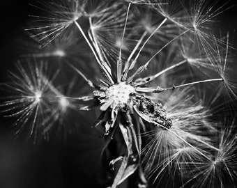 Dandelion Photo - Dandelion Digital Photo - Botanical - Black and White - Digital Photo - Digital Download - Instant Download - Wall Art