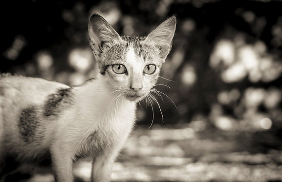 Cat with big ears,cat picture,pet print,animal print,photographic print,black and white,limited edition print