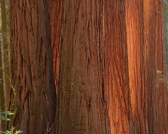 Sequoia Glow
