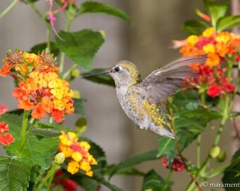 Hummingbird in Lantana