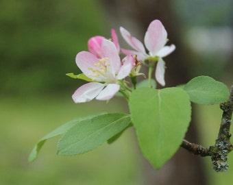 Apple Blossom Photography Print