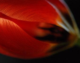 Tulip - botanical photograph - flower art nature red photography decor
