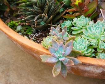 Show Off Succulent